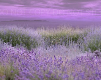 Sunset lavender field and ocean, island background