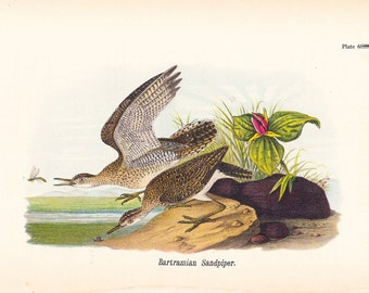 1890 Audubon Bird Print - Bartramian Sandpiper - Vintage Antique Book Plate Natural Science History Great for Framing 100 Years Old