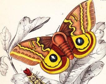 Original Antique Exotic Moth Print Art Engraving . Saturnia Maia . Vol VII . dated 1841 . Plate 16