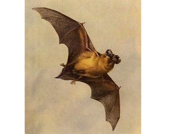1960 mini flying bat original vintage lithograph print - crop from a larger print