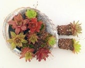 Succulent  PLUG Plants, Winter Hardy, Cute little chicks,