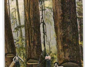 Timber Scene Lumber Logging Tree Bellingham Washington 1910c postcard