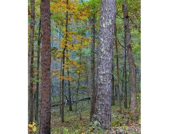 """Fine Art Color Nature Photography of Pine Trees in Missouri Ozarks - """"Pine Trees in Morning LIght In an Ozark Forest"""""""