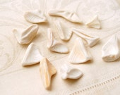 12 pieces of smoothed seagull shaped clam shell Cape Cod (no.x19)