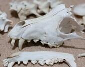 Genuine Australian Dingo Skull and Bones