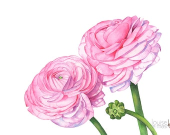 Ranunculus print of watercolour painting, Flower print, ranunculus watercolor painting print, wedding flowers print, A3 size, R13916