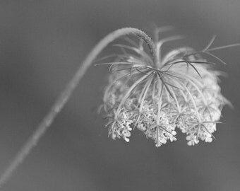 Wildflower Photography, Black and White Flower Art, Queen Anne's Lace, Botanical Photo, Prairie Art, Nature Photograph, Delicate, Reverence