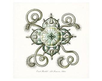 Coastal Décor E. Haeckel Fantasy Forms in Nature No. 2