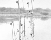 thistles, very delicate and detailed drawing of thistles along the side of a lake, original pencil drawing of purple thistles