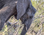 """Africa Photography, """"Elephant on the Diagonal"""", Kruger National Park, Customizable Sizes Upon Request"""
