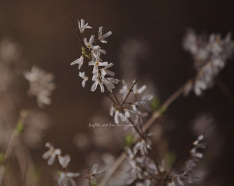 White Forsythia Fine Art Photography Brown Warm Tones Nature Shabby Chic Floral Flower Bloom Blossom Spring Cottage Home Decor Wall Art