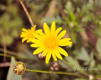 Yellow Daises, Flowers, Nature Photography, Fine Art Photography, Glossy, 8x10, Matted  Floral Photography