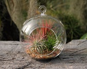 Free Shipping! --7in. Orb Terrarium Kit with Airplants