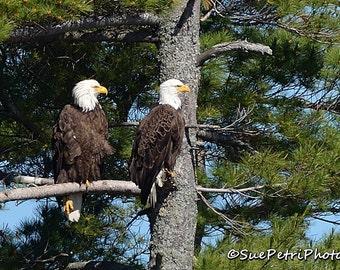 Pair of Bald Eagles, Wildlife Photography, Birds of prey, Bald Eagle Photos, Nature Photography, Bald Eagle Couple