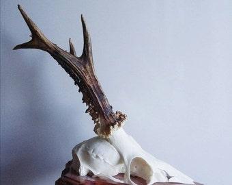 SALE Vintage Deer Antler with Skull On Wood