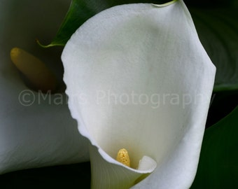 Sensual Delicate Graceful Green White Flower Calla Lilies Nature Fine Art Photography signed matted 5x7 original photograph
