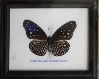 REAL SINGLE BUTTERFLY Collection Taxidermy in Frame / BTF01B