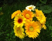 Calendula Seeds - Annual - Mixed Colors