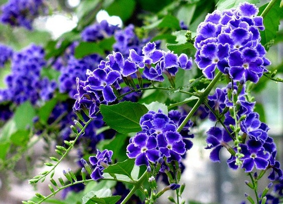 Sky Flower, Duranta repens, 25 seeds, tall fragrant shrub, blue blooms, golden berries, warm zones 8 to 11, fast grower, container, indoors