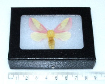 Real framed pink yellow north american rosy maple moth framed butterfly insect