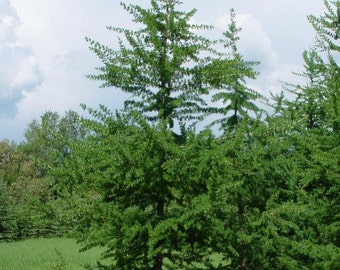 American larch etsy american larch tree seeds larix laricina 25 seeds sciox Image collections