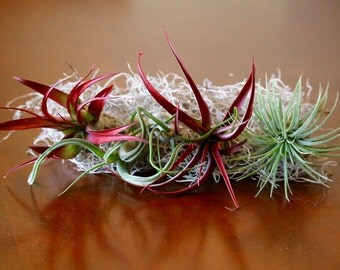 Air Plant Tillandsia Fab Five Plants for 15