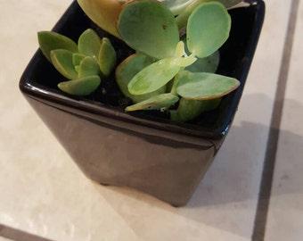 Succulents in Ceramic Pot Magnet