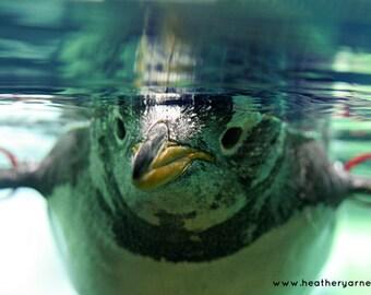 Gentoo Penguin Close-Up, Underwater Portrait, Nursery Art, 8x10