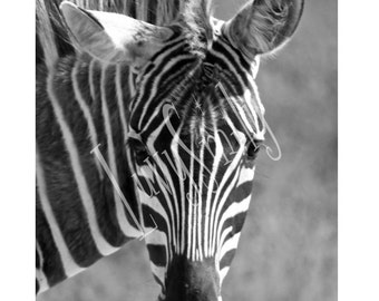 Black and White Zebra Photograph