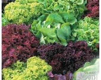 MIX LETTUCE SEEDS 50 Fresh seed ready to plant in your vegetable garden