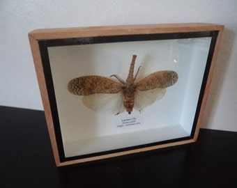Real Lantern Fly Boxed Insect Display Taxidermy Entomology