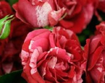 Pink red stripped rose seeds,358, flower roses seeds,roses from seeds,planting roses,growing roses from seeds,seeds for roses,gardening