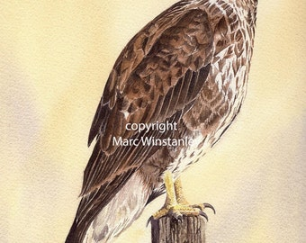 Buzzard print from an original watercolour painting by Marc Winstanley