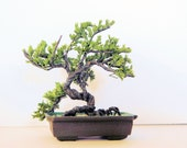 KIT:  Classic Juniper Bonsai