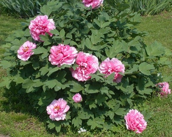 Tree Peony, Paeonia suffruticosa, (Seeds) - Pink-Grow Your Own Peony tree,From Seed - Perennial !