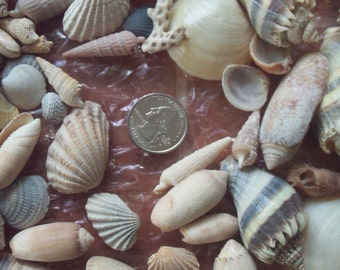 Florida Sea Shells - One Pound - Assorted