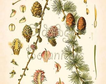 Larch art print etsy botanical print 11x14 kohler vintage art european larch cones evergreen ornamental coniferous tree antique plate interior sciox Image collections