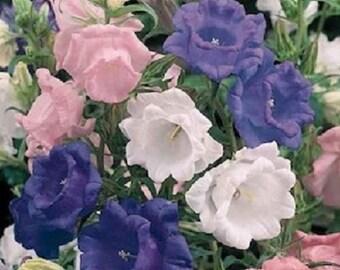 50+ Cup and Saucer Mix Campanula Canterbury Bells / Perennial Flower Seeds