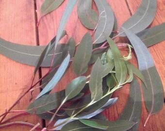 wild organic  EUCALYPTUS LEAVES 198 g 7 oz healing, protection