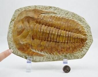 "e4066x HUGE 8.0"" Trilobite Cambropallas also known as Andalusiana Fossil Jurassic Period Dinosaur From Morocco"