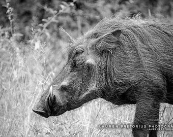 Warthog, Animal Photography, Africa Safari Archival Giclee Print, Wildlife Photo - Multiple Sizes Available