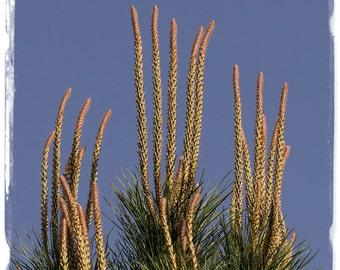 Pinus pinea 'Stone Pine' [Prov. Crete, Greece] 10+ SEEDS