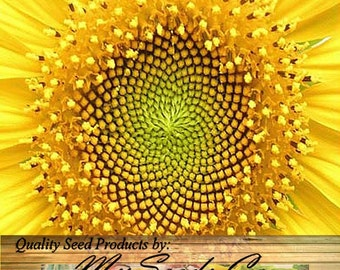 50 x DWARF SUNSPOT Sun Spot Sunflower seeds - HUGE 10 Inch Blooms - Only 2 Feet Tall With Extended Bloom