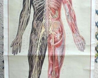 Old poster on the human body, anatomy, full size.