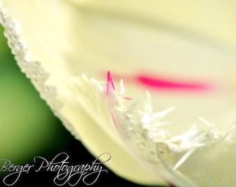 White Fringe Tulip Photo