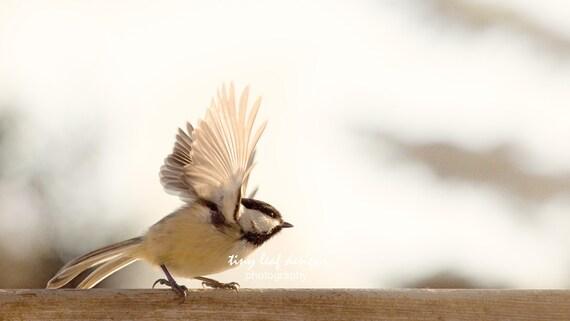 Chickadee Backyard Bird Original Photograph