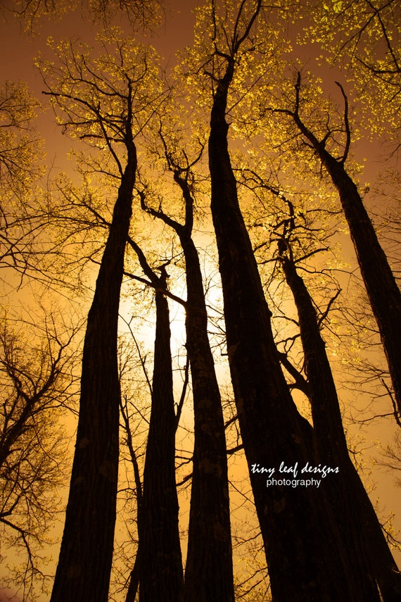 Majestic Tall Trees Fine Art Photography 5x7 8x12 11x16 + canvas