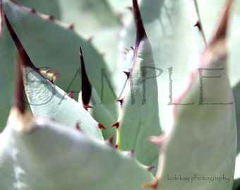 Desert Agave Plant Close Up Photo PRINT