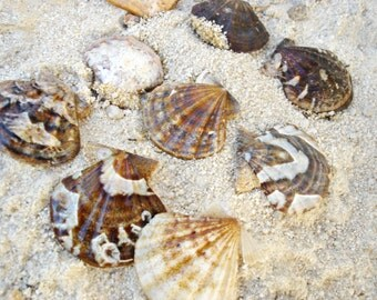 Sea Shells in sets of 20 units, Beach Decor, Natural sea shells, beach home decor,  REF#NSEACOX20