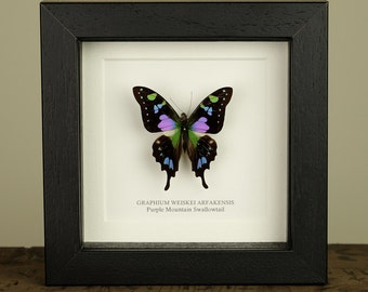 Purple Mountain Swallowtail in Box Frame (Graphium weiskei arfakensis)